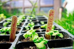 Little planters are a very popular way to start seeds off since they can be quickly transferred to a bigger pot once they grow larger.